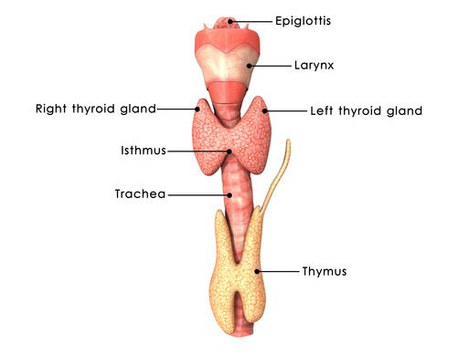 Signs and Symptoms of Thyroid Problems 2 - Florida Medical Clinic